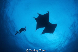 Diver and Mantas/Roca Paritida,Mexico by Yuping Chen